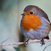 rather fat robin