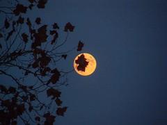 Moonframed leaves 1 (Thiophene_Guy) Tags: moon fall leaves night gloomy olympus utata utataweekendproject originalworks moonframed thiopheneguy projectleaves xz1 olympusxz1 utata:project=leaves