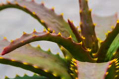 Glowing Thorn