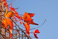 (ctscsq) Tags: november vacation fall leaves nikon classmates beijing 18200mm d90 2013 vision:outdoor=099 vision:sky=0556