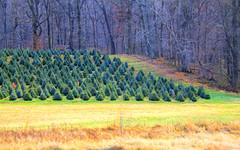 Christmas Tree Farm (Vitaliy973) Tags: christmas travel trees winter cold nature nikon farm maryland treefarm christmastreefarm nikond7000 vision:mountain=0614 vision:sky=0537 vision:outdoor=09 vision:dark=0517