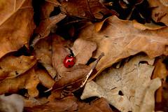 Little Lady (VampireBassist) Tags: autumn macro nature leaves ladybird ilobsterit