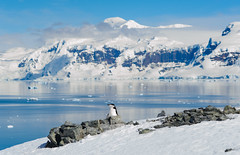 20131205_103239_Antarctica_D700_0390.jpg (Reeve Jolliffe) Tags: world cold ice penguin penguins nikon antarctica environment icy nikkor southernocean continent antarctic ecosystem 135mm ffl southernhemisphere chinstrappenguin primelens antarcticpeninsula sphenisciformes spheniscidae greatsouthernocean defocuscontrol fixedfocallength expeditioncruise d700 135dc polarclimate antarcticcircle pygoscelisantarcticus adventurecruise smallshipcruise 13520dc 135mmf20dafdc australocean