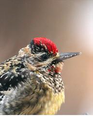Yellow-bellied Sapsucker 35m (Sphyrapicus varius ) (egdc211) Tags: bird aves yellowbelliedsapsucker birdwatcher sphyrapicusvarius backyardbirding