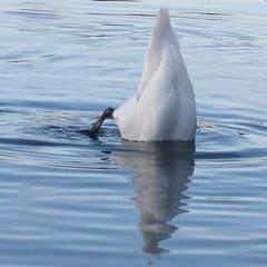 Лебед (Михал Орела) Tags: лебед синьо бяло ирландия начинизавиждане мейнут ройълканал