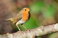 Robin (ron.hindhaugh) Tags: bird nature robin nikon wildlife 500mm birdwatching d800