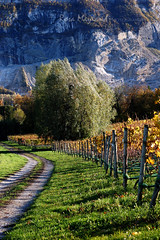 Vineyard Part III (Rosa's Yummy Yums) Tags: autumn fall 50mm switzerland landscapes countryside vines nikon geneva vineyards grapes genève 50f14 nikond40