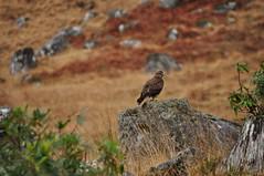 Buzzard (Glengarry_Guy) Tags: scotland wildlife buzzard birdsofprey birdofprey
