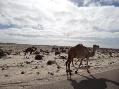 Chameaux entre Dakla et la frontière Mauritaniene