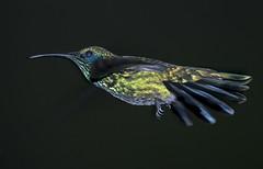 Hummingbird (Joseph M. Campbell) Tags: nature birds costarica wildlife centralamerica