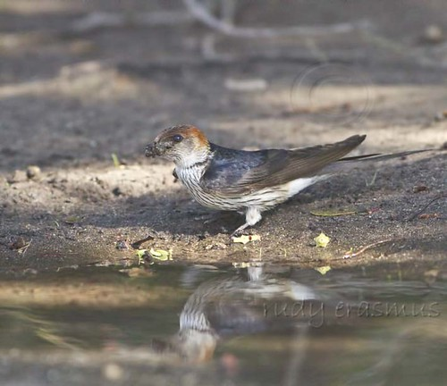 Greater Striped Swallow , collecting nest building mud _0743