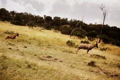Topi_Maasai Mara National Reserve_Kenya (Maria Michalinos-www.debop.gr/deBlog/the-athenians) Tags: africa travel nature animal kenya wildlife safari vegetation oldphotos masai topi masaimara maasaimara maasaimaranationalreserve besttravel ilobsterit