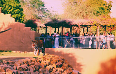 come as you are (Min9ahil) Tags: wild people animal photography zoo nikon tiger saudi arabia riyadh carnivore widlife materialistic ghafoor minahil d5100 min9ahils min9ahil