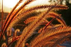 Late Afternoon Sun in the Giant Fountain Grass (Gilda Axelrod Photography) Tags: sunset plants sun newyork beach grass sunshine weeds theend sunny longisland montauk ornamentalgrass mtk gildaaxelrod