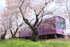 trains and cherry blossoms #2 (snowshoe hare*(away-pc problem)) Tags: flowers train kyoto trains   cherryblossoms   randen skaura  dsc4074