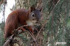Eichhörnchen in Tanne (caniak-shots) Tags: squirrel ngc eichhörnchen autofocus potofgold coth supershot inspiredbylove abigfave anawesomeshot platinumheartaward betterthangood simplysuperb damniwishidtakenthat coth5 sunrays5 infinitexposure