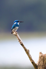 Kingfisher (skip0974) Tags: bali bird indonesia kingfisher shorebirds rajaudang seranganisland