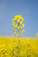 (.) Tags: blue sky flower nature yellow japan spring