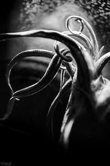 Still It Rises (FTonyC) Tags: ocean sea blackandwhite macro monochrome monster squid horror seamonster legend giantsquid pelagic kraken benthic minolta50mmf28