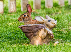 Rabbit & Rabbit (Mike Matney Photography) Tags: rabbit nature canon illinois backyard midwest wildlife july troy 2015 eos7d