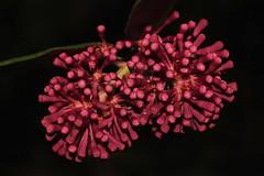 Syzygium wilsonii subsp. wilsonii (andreas lambrianides) Tags: qld lillipilli myrtaceae powderpuff australianflora syzygium australiannativeplants arfp powderpufflillypilly australianrainforests australianrainforestplants syzygiumwilsoniisubspwilsonii qrfp australianrainforestflowers arfflowers redarfflowers maroonarfflowers tropicalarf lowlandarf uplandarf wilson'ssatinash