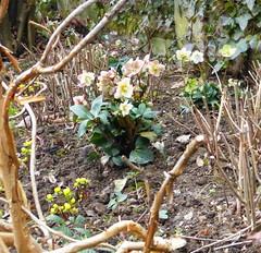 2017 Germany // Unser Garten - Our garden // im Februar (maerzbecher-Deutschland zu Fuss) Tags: 2017 garten natur deutschland germany maerzbecher garden februar unsergarten