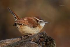 Carolina Wren (Mike Veltri) Tags: carolinawren birds avian naturephotograhy outdoors small tiny 600mm ontario canada