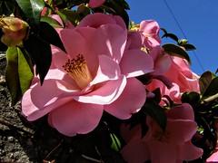 camelias rosas (nora4santamaria) Tags: camelias flores flowers galicia 7dwf