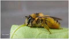 Covered in Pollen (Explored) (Nadine V.) Tags: bumblebee gewonesachembij bij sandpitminingbee abeille inourgarden insect panasonic panasonicdmcfz38 fz38 lumix bug dasypoda sp explore