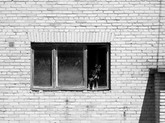 Dog Pups on the Window (Risto Kaer) Tags: dogs puppies old building window monochrome black white contrast soviet flats pair estonia tamsalu canon powershot a480 compact brick wall
