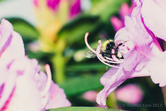 Rhododendrons and Bee-2 (Royston_Kane) Tags: flowers flower backyard bee 105mm kenko nikond800 nikon105mmf25ai