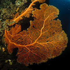 michaelmas reef fan (Cruising, traveling & dive pics.) Tags: coral cd review 2013 michaelmasreef