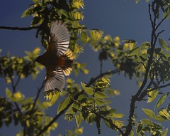 no ready, no set.... just go (christiaan_25) Tags: sky orange sunlight black tree bird flying inflight wings go walnut feathers may photoaday backlit overhead songbird baltimoreoriole oriole icterusgalbula fmsphotoaday