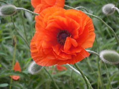 poppies 064 (cellocarrots) Tags: poppies