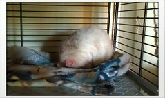 Sleeping little rat-ball (Scratchblack) Tags: sleeping pet cute animal rodent adorable tired rats husdjur djur rtta siestas gnagare bedrande
