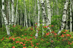 white birch and azalea. (cate) Tags: wood landscape scenery azalea freshgreen whitebirch
