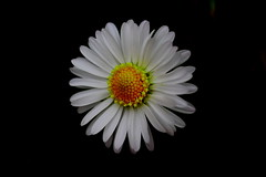 daisy (Tony Dandridge) Tags: flowers flower macro garden weeds daisy beautifulearth