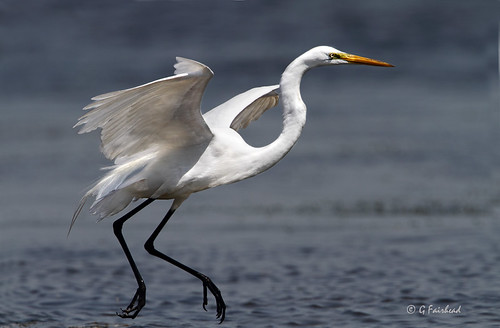 Great Egret On The Run