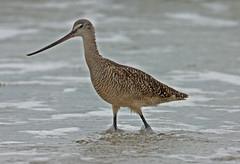 Marbled Godwit (smithbtr) Tags: bird texas birding padreislandnationalseashore smithbtr