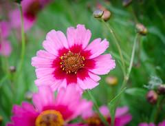 You can't stop me. (Omygodtom) Tags: park street pink wild summer macro green art nature bokeh elite existinglight tamron90mm dk7 simpleflowers