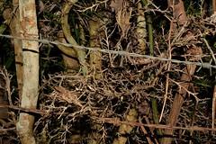 meeting of minds (dustaway) Tags: plants nature treebark citrus spiny thorny rutaceae fingerlime australianrainforestplants citrusaustralasica