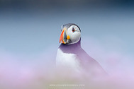 Dreamy Puffin by Johan Siggesson