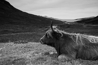 Scottish Hairy Cows (Coos)
