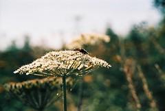 (CroytaqueCie) Tags: film photo xpro minolta bee velvia lebah rvp bienen velvia50 filmphotography زنبور bijen μέλισσα filmisnotdead gwenan minoltadynax4 пчёлы mehiläiset býflugur ハナバチ 花蜂 believeinfilm 蜂族 flickrandroidapp:filter=none