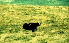 SERENGETI (VERY GIORGIOUS) Tags: park film tanzania lomo xpro lomography cross slide oasis national serengeti processed overland
