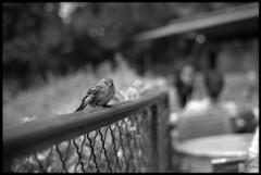 Bird waiting for food (El Ramonito) Tags: street blackandwhite bw paris france bird film analog lens photography photo blackwhite kodak scanner trix olympus 400 epson analogue 18 50 zuiko perfection 1850 5018 kodaktrix400 olympusom2n om2n v500 2013 epsonv500