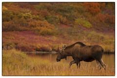 Moose Walking by the Lake  (jeanne.marie.) Tags: autumn lake fall alaska walking moose tundra denalinationalpark