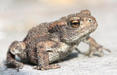 Common Toad - Bufo bufo (PaulQ63) Tags: amphibian toad bufobufo commontoad europeantoad cheshirewildlife
