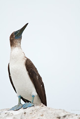 Blue Footed Booby at the Breakwater (Photosuze) Tags: california portrait nature birds wildlife aves bluefeet marinadelrey rarities avians sulanebouxii boobys bluefootedboobys dailynaturetnc11