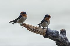 Pacific swallows (belgobreizh) Tags: india novembre swallow hirondelle havelock 2012 inde rondine pacificswallow hirundotahitica rondinedelpacifico zuidzeezwaluw hirondelledetahiti